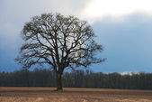 Oak and Clouds — Stock Photo