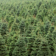 Stock Photo: Christmas Trees