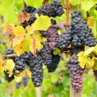 Pinot Grapes - Stock Photo
