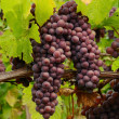 Stock Photo: Pinot Grapes