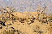 豆科灌木沙丘 — 图库照片