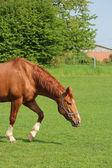 Un pascolo a cavallo su un — Foto Stock