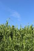 Hochsommer-gras — Stockfoto