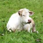 White cows — Stock Photo #10657942