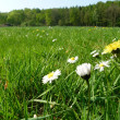 A sunny green meadow with nice flowers — Stock Photo #9657445