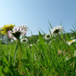 A sunny green meadow with nice flowers — Stock Photo #9657516