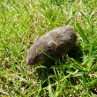 A littel mouse in the grass — Stock Photo