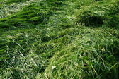 Green hay in the late summer — Stock Photo