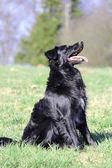 Een mooie jonge bordercollie hond in het gras — Stockfoto