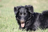 A nice young border collie dog in the grass — Stock Photo