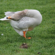 A goose — Stock Photo #9857348