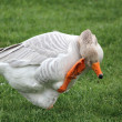 A goose — Stock Photo #9857375