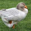 A goose — Stock Photo #9857478