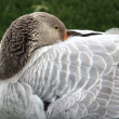 A goose — Stock Photo