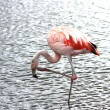 Stock Photo: Beautiful flamingo