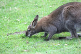 An Australian wallaby — Stock Photo
