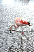 En vacker flamingo — Stockfoto