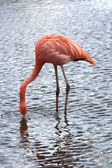 A beautiful flamingo — Stock Photo