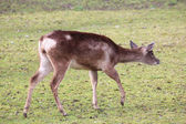 A European deer — Stock Photo