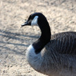 A nice goose — Stock Photo