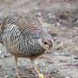 Stock Photo: Small quail