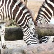 Zebra — Stock Photo #9963959