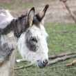 A sweet donkey — Stock Photo #9965297