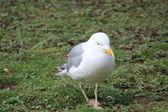 A seagull — Stock Photo