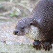 Otter — Stock Photo #9973700