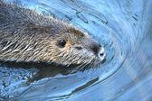 A beaver — Стоковое фото
