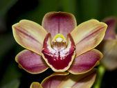 Orchidea — Stock Photo