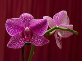Orchidea — Stock Photo