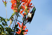 White-bellied Sunbird (Cinnyris talatala) on Cape Honeysuckle (Tecoma capensis) — Stock Photo