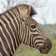 Stock Photo: Burchell's Zebr(Equus burchelli)