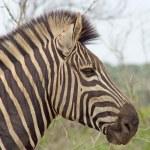 Burchell's Zebra (Equus burchelli) — Stock Photo