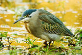 Green-backed Heron (Butorides striata) — Stock Photo