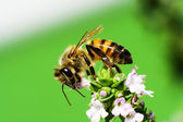 Honey Bee on thyme — Stock Photo