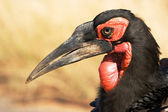 Southern Ground Hornbill (Bucorvus leadbeateri) — Стоковое фото