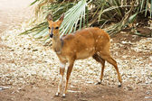 Bushbuck (Tragelaphus scriptus) — Stock Photo