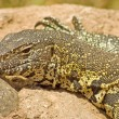 Nile Monitor (Varanus niloticus) — Stock Photo