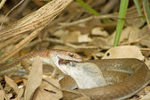 Olive Grass Snake (Psammophis mossambicus) with prey. — Stock Photo