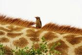 Red-billed Oxpecker (Buphagus erythrorhynchus) on giraffe. — Stock Photo