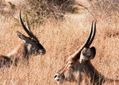 Resting Waterbuck (Kobus ellipsiprymnus) — Stock Photo