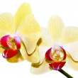 Stock Photo: Yellow orchid branch