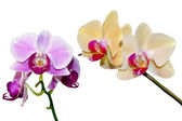 Two branches of the orchid — Stock Photo