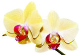 Yellow orchid branch — Stock Photo