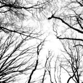 Silhouette di un alberi secolari — Foto Stock
