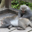 Interaction of two monkeys grooming — Foto de Stock