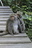 Two Taiwan macaques — Stock Photo