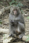 Taiwan macaques of blind eye — Stock Photo